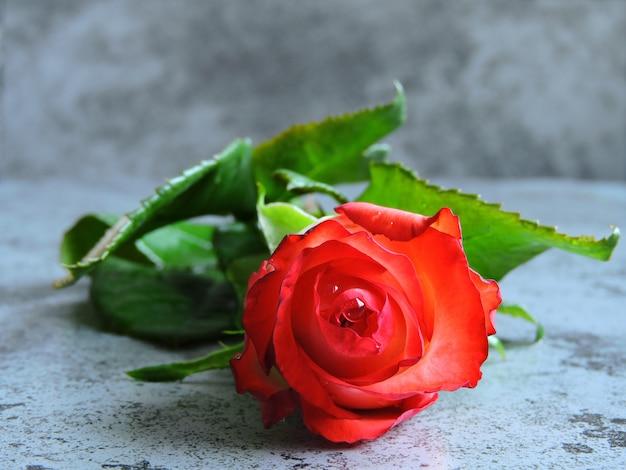 Красивая яркая роза на сером фоне. подарок на свидание в день святого валентина. копировать пространство