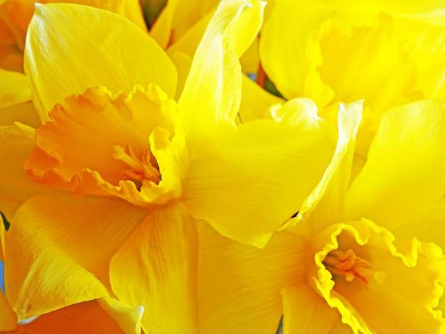 黄色い水仙をクローズアップ