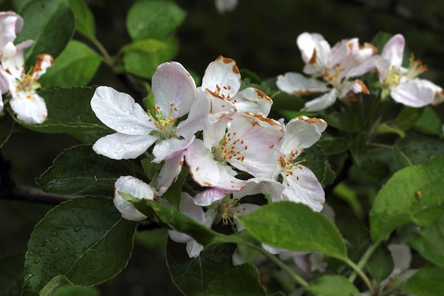 Один цветок яблони, крупный план