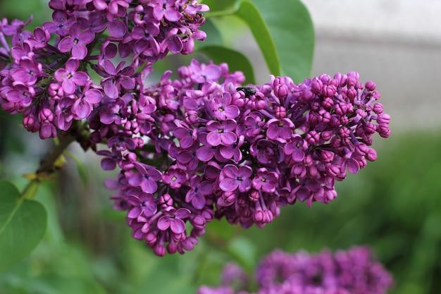 Сладкий сиреневый цветок