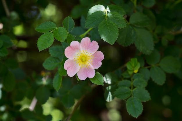 Крупным планом шиповника, роза канина, с зелеными листьями летом