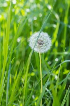 緑の自然と春の草のタンポポ