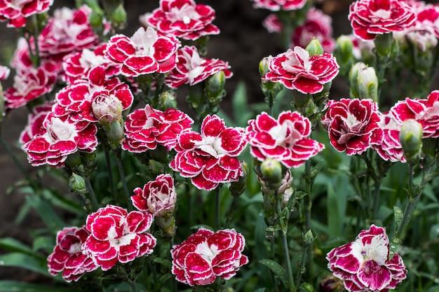 夏の庭でピンクのカーネーションの花。ナデシコカリオフィラス