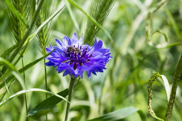 Красивые полевые цветы васильки. селективный фокус
