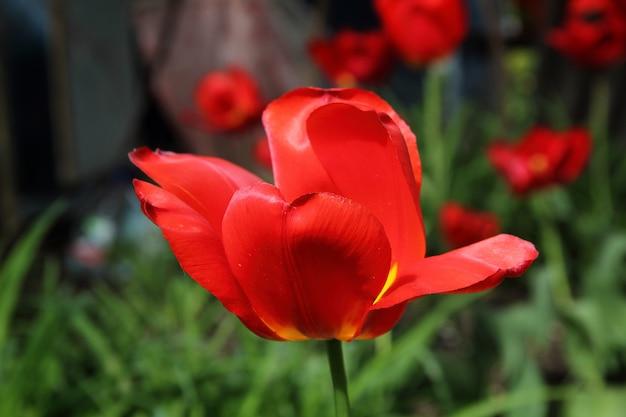 Крупный план одного красного и желтого тюльпана