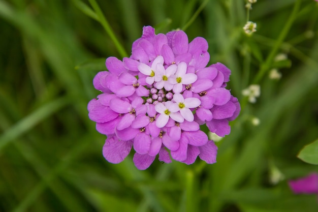 Цветок иберис зонтик