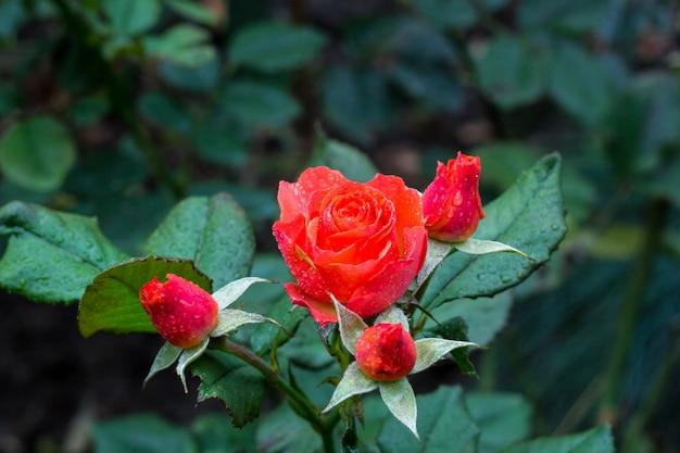 庭の茂みに露の滴と赤いバラのクローズアップ