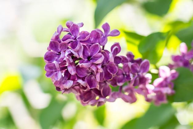Весенняя ветвь цветущей фиолетовой сирени в майский день