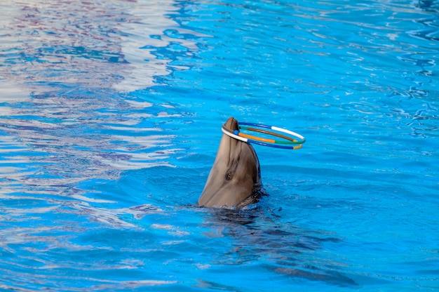 Дельфин играет в кольца. дельфин вращает обручи на носу.