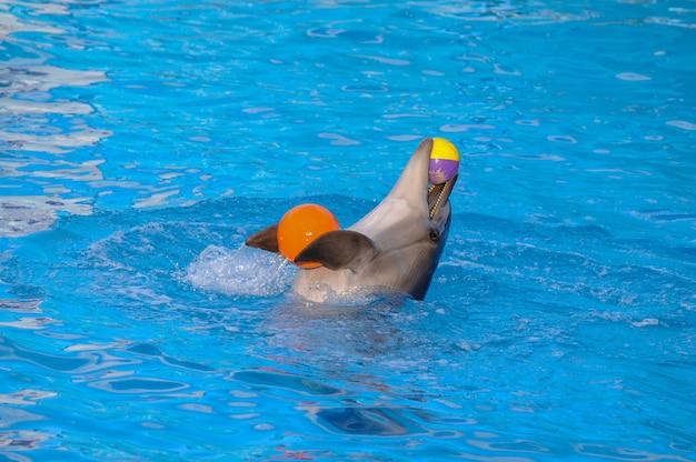 Дельфин играет с шарами. дельфин держит мяч с плавниками и зубами.