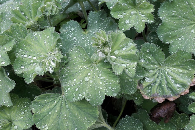 蓮の効果は、雨の後の植物のサクシフラージュ。