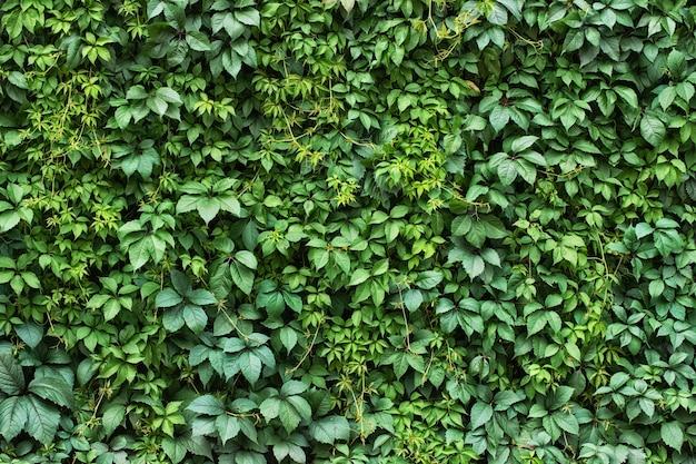 観葉植物の背景。緑の葉の生垣の壁。