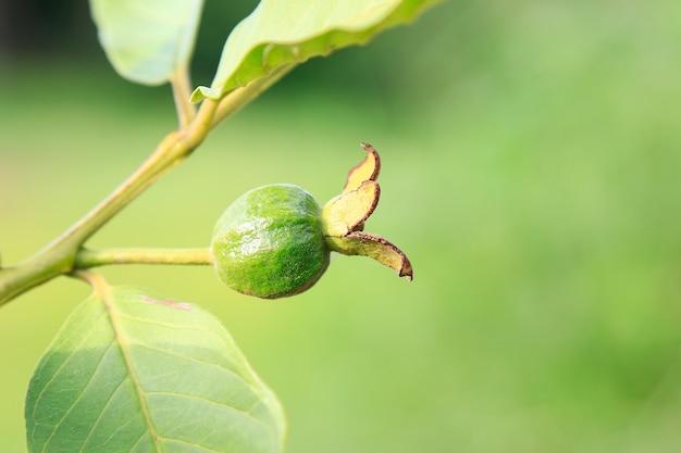 木の上の若い緑のグアバ果実
