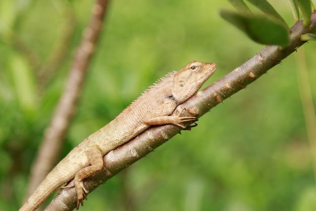 木の上の小さなタイのトカゲ