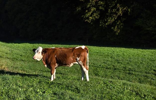 フィールドで放し飼いの牛
