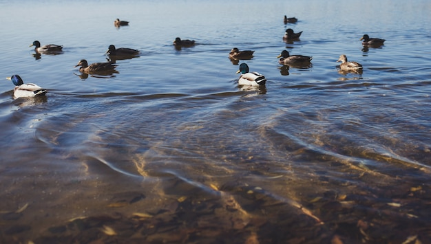 アヒルは池で泳ぐ