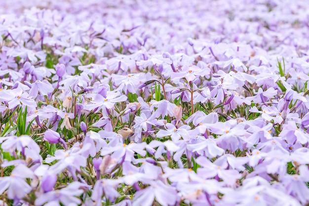 Красивый фиолетовый цветок в саду