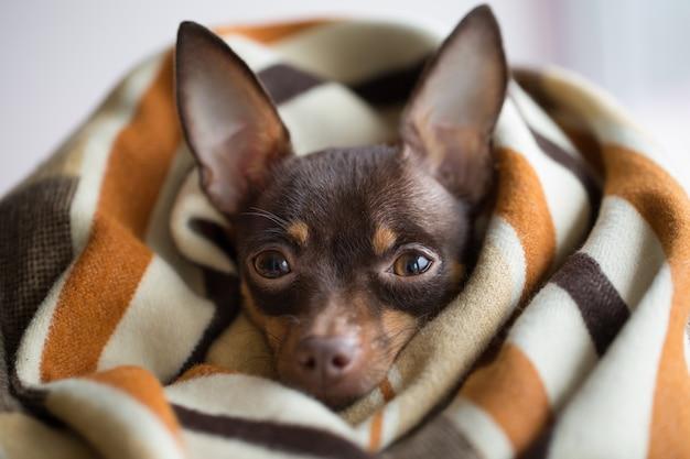 格子縞の下の犬。毛布の下でペットが温まる