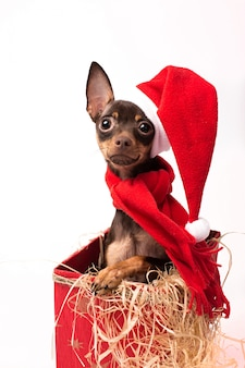 赤いクリスマスボックスのテリアの子犬。