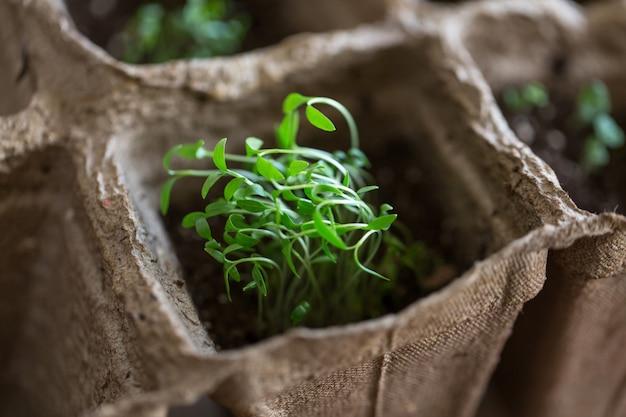 新鮮な緑の春の草のクローズアップ、作物や穀物を植える