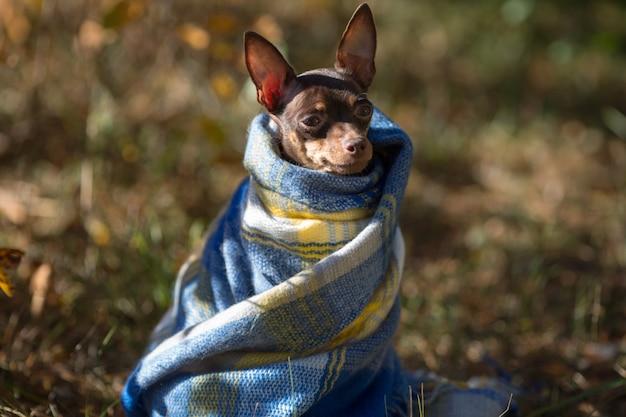 格子縞の下の犬。ペットは毛布の下で温まります