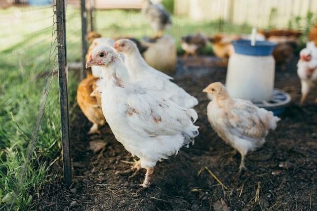 養鶏場に小さな鶏のひな