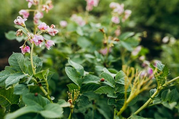 緑のジャガイモの葉のコロラド州のカブトムシ