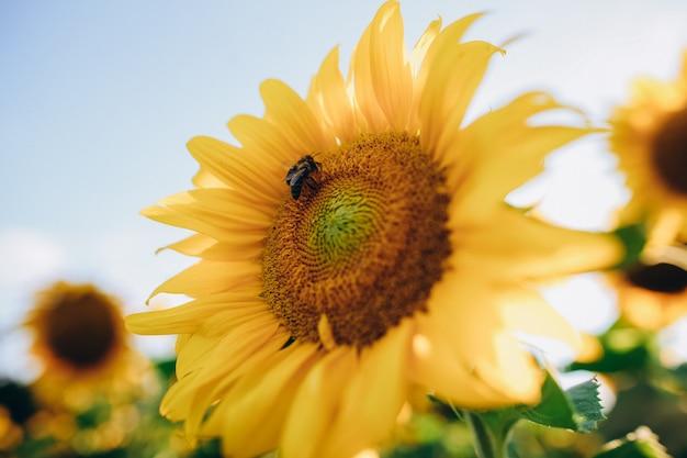 Пчелы сидят на красивом желтом подсолнухе