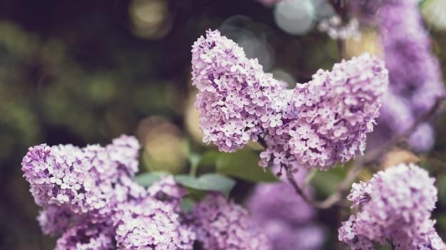 花ライラックのマクロの表示。ライラックのクローズアップの美しい束。ブッシュブルーム。庭の花。ソフト選択フォーカス。
