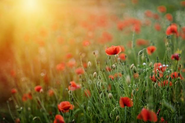 ケシの花のフィールド