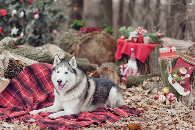 赤い毛布の上に座って首にクリスマスリースとかわいいシベリアンハスキー。背景にクリスマスの装飾。