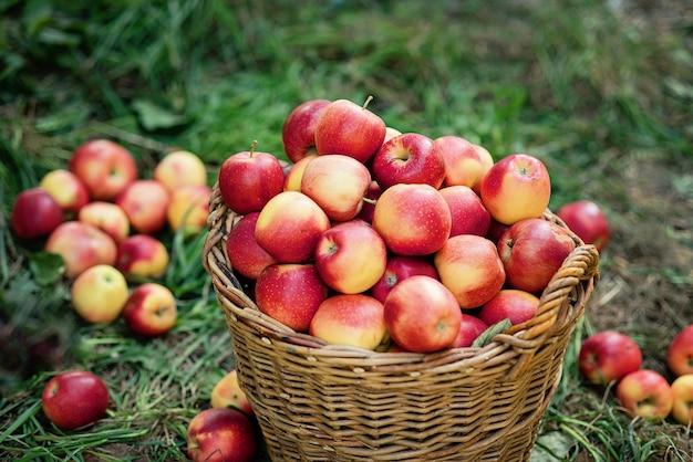 りんごの収穫緑の芝生の上のバスケットに熟した赤いリンゴ。