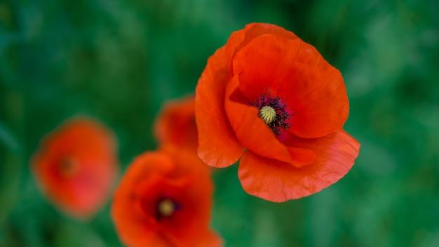 ケシの花フィールド自然春の背景。ブルーミングポピーのメモリシンボル。休戦または記念日の背景。