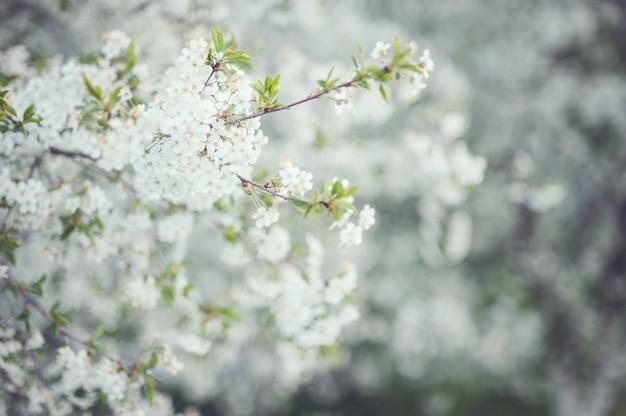 Белый цветущий вишневый весенний день