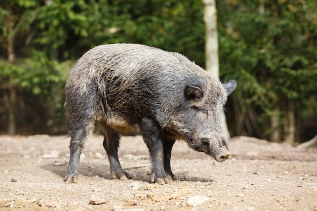 夏の森の野生の豚