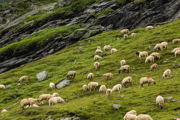 Овцы на лугу в горах. красивый природный ландшафт на трансфагарасских горах в румынии