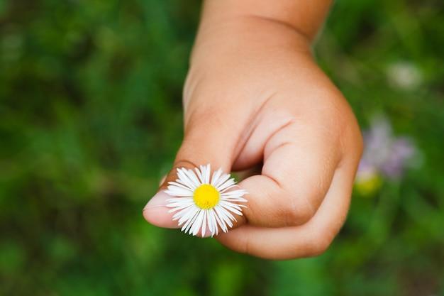 子供の手のカモミールの花
