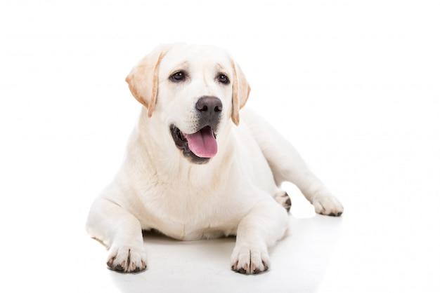 かわいい白いラブラドールレトリーバー犬