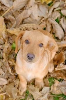 秋に座っている子犬ロシア狩猟スパニエルの肖像画を残します。