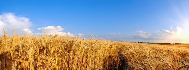 青い空に起伏のある地形とトラクタートレイルの黄金の小麦のパノラマフィールド