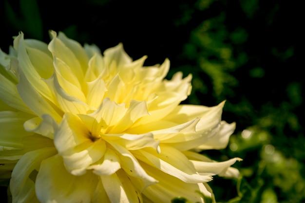 黄色のダリア。緑の自然の秋の黄色い花。複雑な幾何学模様。母の日カード