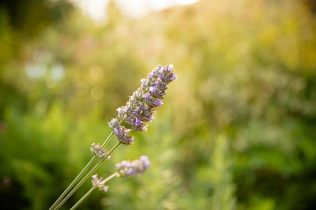 花バイオレットラベンダーハーブが分離されました。美しい穏やかなラベンダーの花畑、芳香植物、夏の自然の美しさ