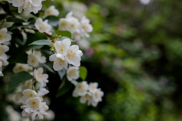 太陽光線とボケ味を持つ庭の茂みに成長しているジャスミンの花。庭のジャスミンの茂みに春が咲きます。開花公園で緑のぼやけた背景に柔らかいジャスミンの花。