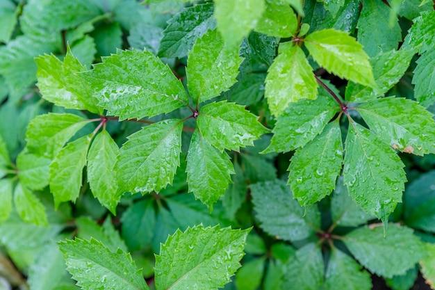 コピースペースを持つヴィンテージの木製の背景に葉の野生ブドウ。水滴のある野生ブドウの緑の葉。素朴な古い家の木製の壁。自然の葉の背景