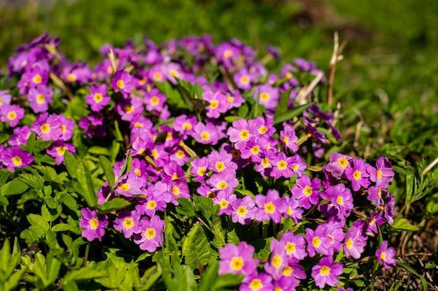 春の庭の多年生サクラソウまたはプリムラ。春のサクラソウ。美しい色のサクラソウの花の庭。太陽光の下で美しい花の背景。日当たりの良い春の天気。