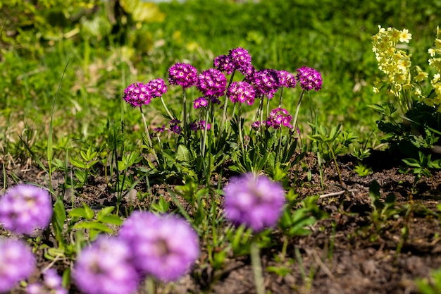 すみれ色の花とプリムローズプリムラ。心に強く訴える自然の花春または夏咲く庭または柔らかい日光とぼやけたボケ背景の下で公園。カラフルな咲くエコロジー自然の風景