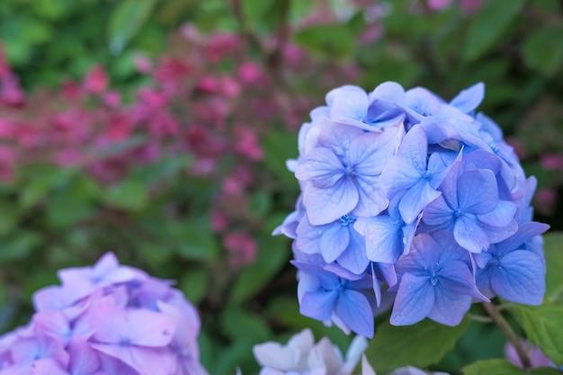 Гортензия синий цветок и зеленые листья с каплями после дождя. гортензия цветет с голубыми цветами в летнее время.