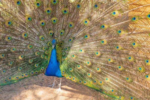 Павлин пытается поразить самку павлина, расправляя хвост в саду. павлин открыл свои красивые разноцветные перья