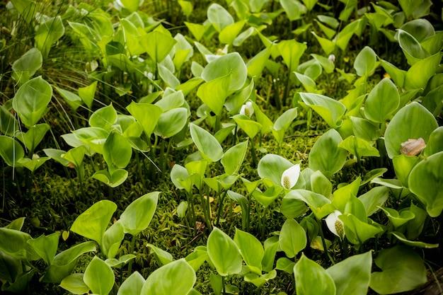 沼で成長している沼のオランダカイウの美しいグループ。