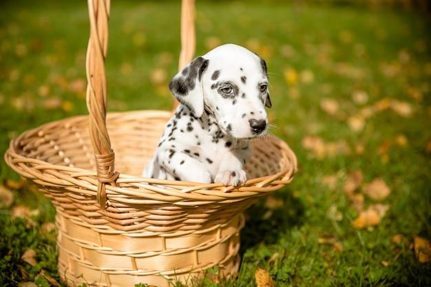 ダルメシアン犬。秋の紅葉の背景に犬。秋の芝生の枝編み細工品バスケットのダルメシアンの子犬。コピースペース